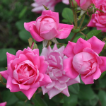 Double Knockout Rose, Rosa
